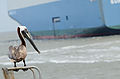 Pelican and Ship.jpg