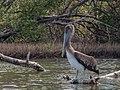 Pelican in mangroves of the Restinga Lagoon.jpg