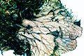 Peltigera canina-2.jpg