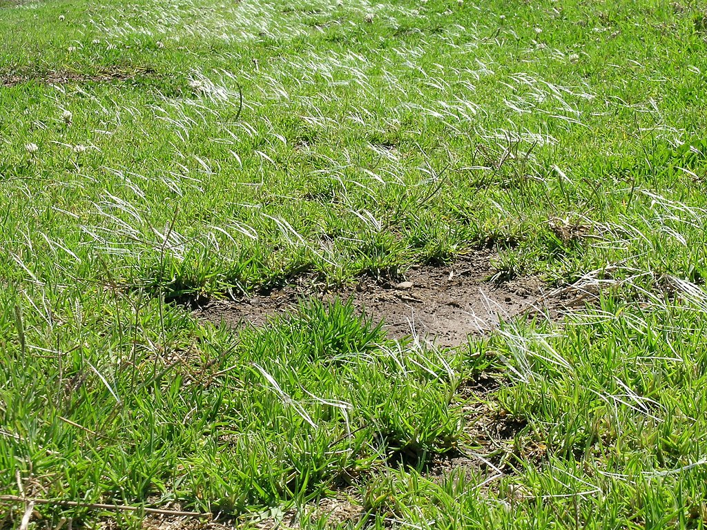 gazon mauvaise herbe
