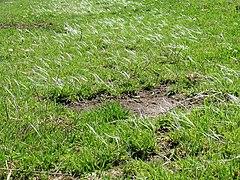 240px pennisetum clandestinum flowers 1