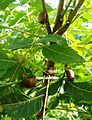 Pentatomidae Genus Stink bugs on neem tree Madhurawada Visakhapatnam.JPG