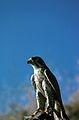 Peregrine Falcon USFW.jpg