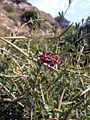 Periploca angustifolia11.jpg