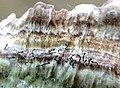 Phaeocalicium polyporaeum (Nyl.) Tibell 738752.jpg