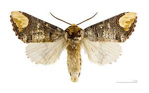 Buff-tip - Image: Phalera bucephala MHNT