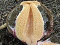 Phallus impudicus (6293350729).jpg