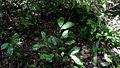 Pharus latifolius L. (14804018008).jpg