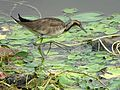 Pheasant-tailed jacana non breeding.jpg