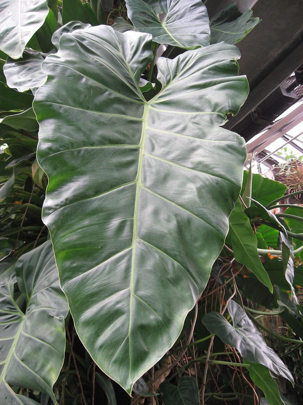 Philodendron maximum - Wikipedia