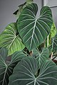 Philodendron Gloriosum Leaves .jpg