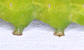 Phlogophora meticulosa 9585.JPG