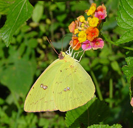 Phoebis sennae, Cloudless Sulphur, Saddle Creek Park.jpg