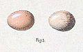 Phoenicurus frontalis eggs 1889.jpg