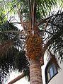 Phoenix dactylifera - Madeira 3.jpg