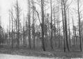 Photograph of Burned Over Area Three Miles West of Oscoda, Michigan - NARA - 2129630.tif