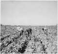 Photograph of Imperial Valley, c.1941, showing agricultural workers picking crop. - NARA - 296428.tif