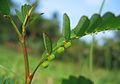 Phyllanthus niruri closeup.jpg