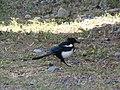Pica hudsonia (black-billed magpie) (Ridgway, Colorado, USA) 1.jpg