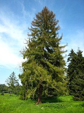 Koyama-Fichte (Picea koyamae)