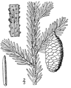Picea rubens drawing.png