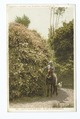 Picking Roses, Pasadena, Calif (NYPL b12647398-67551).tiff