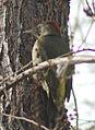Picus viridis sharpei 070.jpg