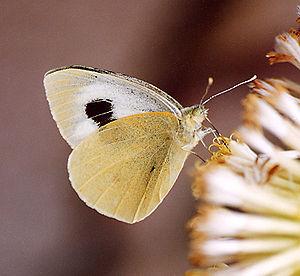Canary Whites (Pieris cheiranthi)