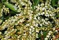 Pieris japonica Brouwers Beauty 1zz.jpg