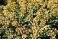 Pieris japonica Kavatine 1zz.jpg