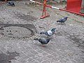 Pigeons sauvages (Feral pigeon) (1).jpg