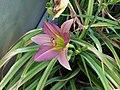 Pink Daylily up close.jpg