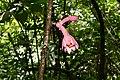 Pink Passion Flowers (Passiflora amoena) (39188928905).jpg