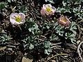 Pink buttercup, Beckwithia andersonii (=Ranunculus andersonii) (40115100033).jpg