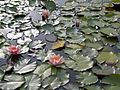 Pink water lily2.JPG