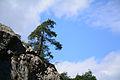 Pinus brutia - Kızılçam 06.jpg