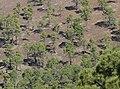 Pinus canariensis forest.jpg