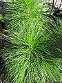 Pinus elliottii (slash pine) 1 (38524188995).jpg