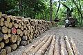 Pinus sylvestris prepared for transport, Hungary.jpg