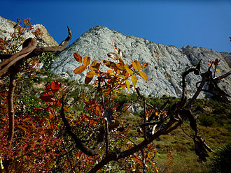 Pistacia terebinthus - Pistacia terebinthus in Peñas Blancas, Cartagena (Spain)