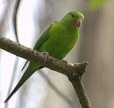 Plain Parakeet (Brotogeris tirica) -on branch.jpg