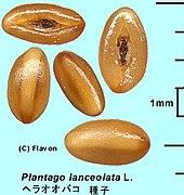 Plantago lanceolata seed 20030713 1.jpg