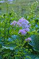 Plants from Sassolongo 15.jpg