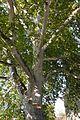 Platan u Sremskim Karlovcima 1.jpg