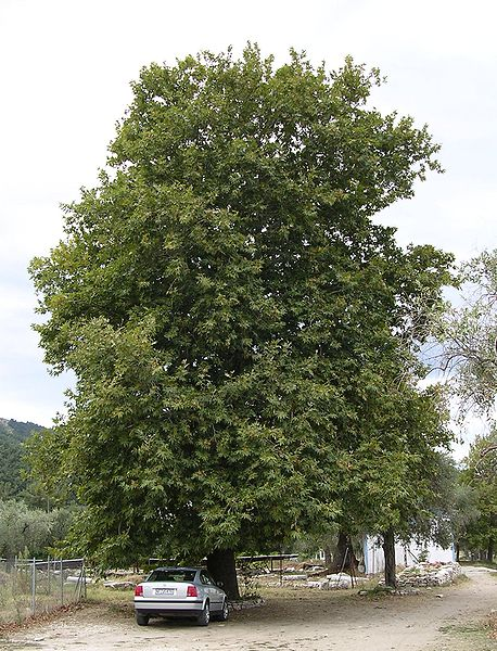 File:Platanus orientalis tree, Thasos.jpg