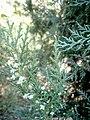 Platycladus orientalis at Nagarjun Garden, Akola10.jpg