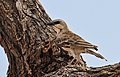 Plocepasser donaldsoni -Samburu National Reserve, Kenya-8.jpg