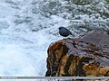 Plumbeous Water Redstart (Rhyacornis fuliginosa) (24769473197).jpg