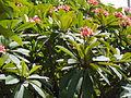 Plumeria rubra Linnaeus Los Pinos 1 2013 001.JPG