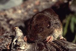囊頰地鼠;圖片來源:Wiki